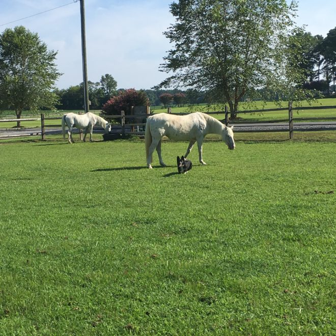 unexpected surprise, four white horses, two white horses, black corgi